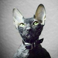 Сфинкс, портрет моего кота. :: Марина Влади-на