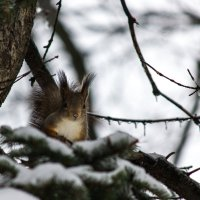 Плохо белкам, когда идет ледяной дождь :: Владимир Безбородов