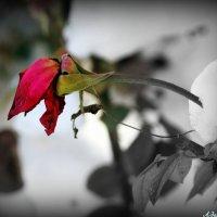 Как хороши, как свежи были розы.. :: Андрей Заломленков