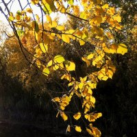 золото осени... :: татьяна