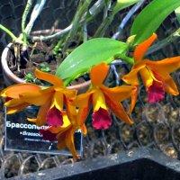 Орхидея :: татьяна петракова