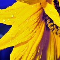 Sunflower petals with water drops :: valery60