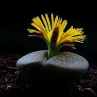 Литопс цветок :: Александр Деревяшкин