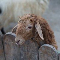 Добрая овечка. :: Валентина Налетова