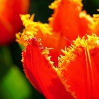 Тюльпаны :: Сергей *