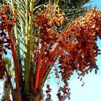 Финиковая пальма :: Natali