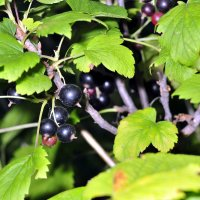 black currant on a branch in the garden :: valery60