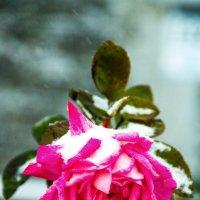 роза в снегу :: Oksana Verkhoglyad