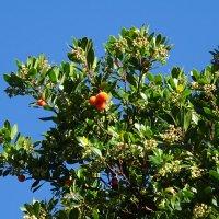 Земляничное дерево. :: СветЛана D