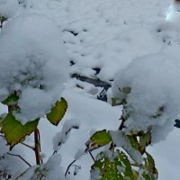 снежные одуванчики :: Люша