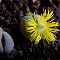 Литопс цветок раскрылся :: Александр Деревяшкин