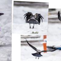 ворона :: Лариса Батурова