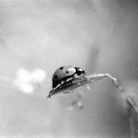 Coccinellidae :: Сергей Тарабара