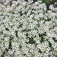 снежнобелые цветы :: Елена