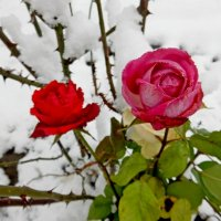 Розы во дворе :: Владимир