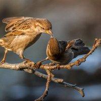Воробьиная любовь... :: Дмитрий Скубаков