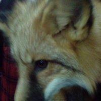 Рыжая лиса с выставки в Лофт Проект Этажи. (Санкт-Петербург). :: Светлана Калмыкова