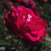 Роза утром :: Ksyusha Pav