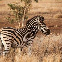 Южная Африка. Национальные парки.  Зебра. :: Олег Красовский