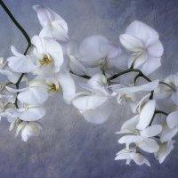 Белая орхидея :: Ирина Приходько