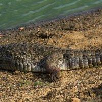 Крокодил в Национальном Парке Яла, Шри - Ланка :: Денис Голиков