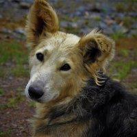 Портрет собаки :: Сергей Чиняев