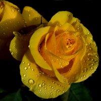 Роза в капельках :: анна нестерова