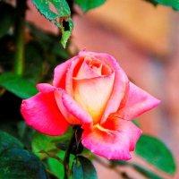 Коралловая роза -роза счастья! :: Лара ***