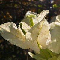Цветок Бугенвиллеи :: Александр Деревяшкин