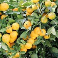 Абхазия мандариновый рай :: Cветлана Свистунова