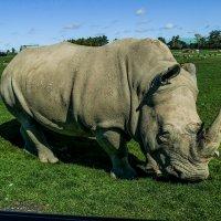 Носорог рог рог идёт... (ну, а мы всё сидим и во все глаза глядим!) :: Юрий Поляков