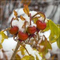 Снег и шиповник :: Виталий