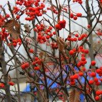 Боярышник красный на ветках висел. :: Валентина ツ ღ✿ღ
