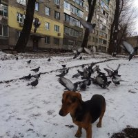 Украинский пёс Сирко охраняет голубей мира на майдане... :: Алекс Аро Аро