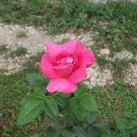 Роза :: Oleg Arince