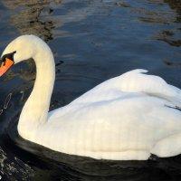 """""""Белый лебедь на пруду..."""" :: Нина Бутко"""