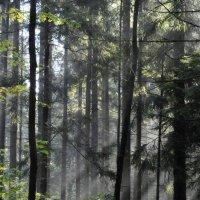 Утро в еловом лесу..... :: Юрий Цыплятников