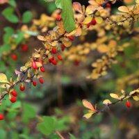 кровавые ягоды :: Alexander Varykhanov