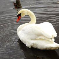 Лебеди на Чистом пруду :: Маргарита Батырева