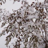 Спирея в снегу :: Елена Михеева