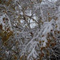 Снег .Березка. Золотая зима. :: Tatiana Lesnykh Лесных