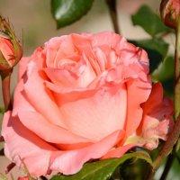 Роза :: Виктория Калицева