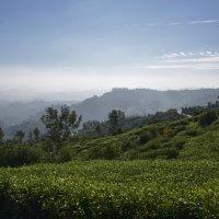 Чайные плантации. Цейлон.Tea plantations. Ceylon. :: Юрий Воронов
