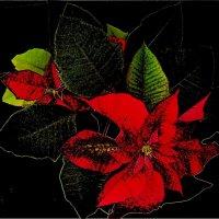 Пуансетия в разгаре цветения :: Нина Корешкова