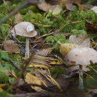 Осенние грибы :: leo yagonen
