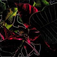 Пуансетия в цвету :: Нина Корешкова