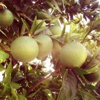 апельсины :: tgtyjdrf