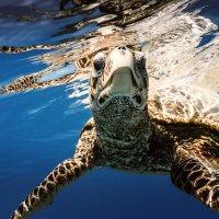 Sea turtle underwater :: Дмитрий Лаудин