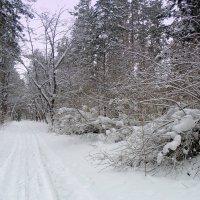 Вот и лыжня уже в лесу ! :: Мила Бовкун