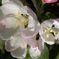 Яблони в цвету, зимою снятся :: Регина Пупач